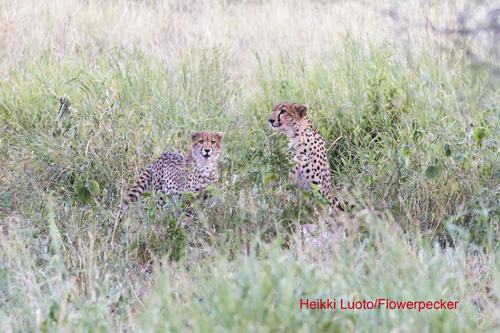 Gepardi pentunsa kanssa