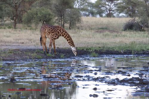 kirahvi juomassa