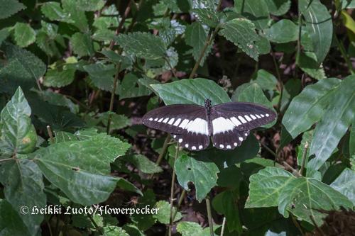pieniä perhosia kotona