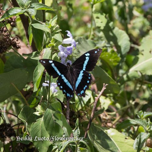Ritariperhonen, Papilio sp.