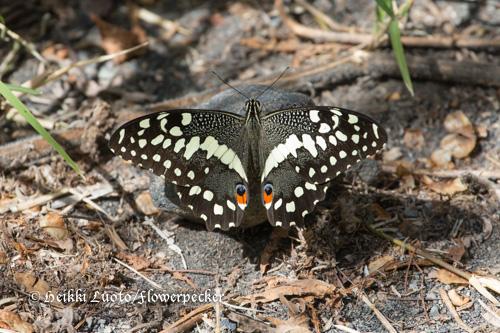 Ritariperhonen Papilio demodocus