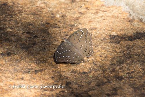 Täpläperhonen, Hamanumida daedalus