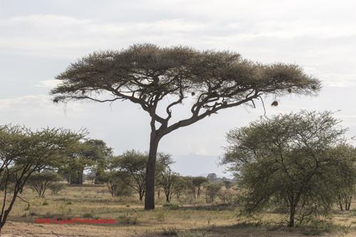 Akaasia savannilla