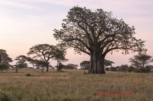 Apinanleipäpuu