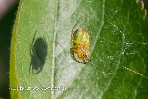 Kurkkuhämähäkki