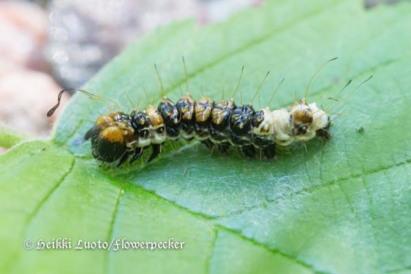 Leppäyökkösen toukka
