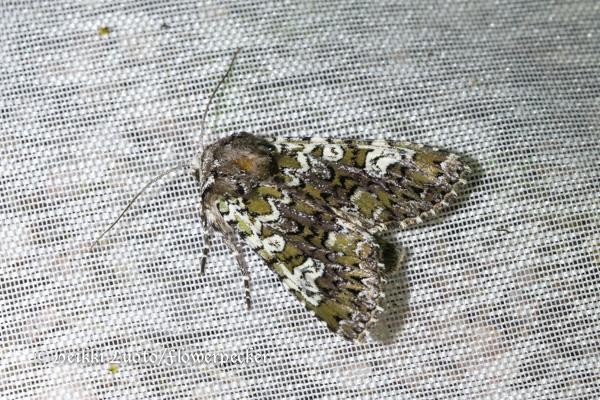 suomen perhoset yökköset 1