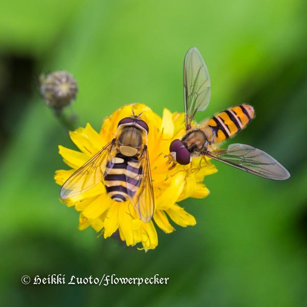 Kukkakärpäsiä