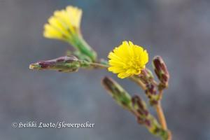 piikkisalaatti kukat