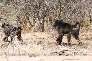 Paviaanit ovat melko tummia Namibiassa