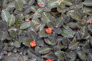 Hohtokuparilehti (Episcia cupreata)