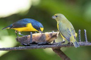 Sitruunamarjukka pari