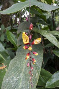 riippasusanna Thunbergia mysorensis