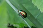 Peippikuoriainen